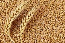 پرداخت بیش از 96 درصد بهای گندم کشاورزان گلستانی