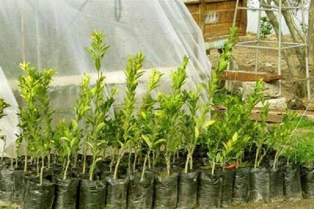 سالانه 800 هزا اصله نهال باغی در کهگیلویه تولید می شود