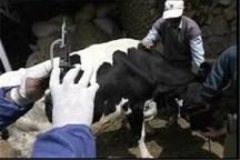 طرح مبارزه با بیماری دامی تب مالت در خمین آغاز شد