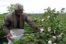 12 هزار هکتار پنبه در گلستان کشت شد
