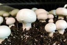 مسمویت ۴ نفر با قارچ های سمی در قزوین