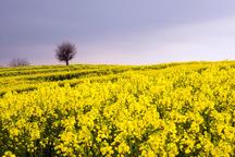 برداشت کلزا از مزارع کردستان آغاز شد
