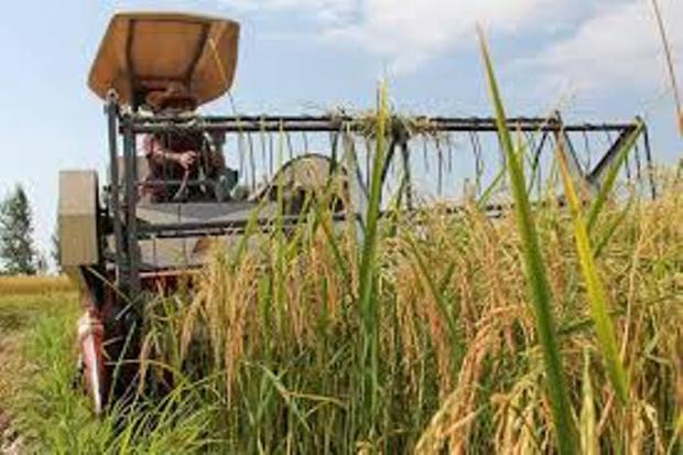 برداشت مکانیزه برنج از شالیزارهای لاهیجان آغاز شد