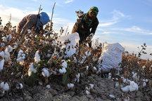 پیش بینی برداشت ۱۰۵ تن پنبه از زمینهای کشاورزی بخش احمدی