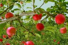 جشنواره سیب درختی همزمان با فصل برداشت در دماوند برگزار می شود
