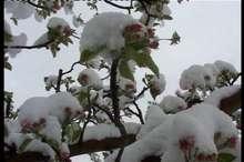 بارش برف  کشاورزان مشگین شهر را خوشحال و باغداران را نگران کرد