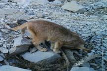 مشاهده 'سیاه گوش' در زیستگاه حیات وحش کبیرکوه ملکشاهی