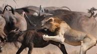 فرار جالب حیوانات از چنگال درندگان/ فیلم