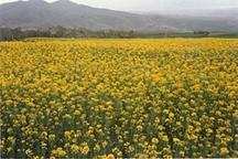 برداشت کلزا در ایرانشهر آغاز شد