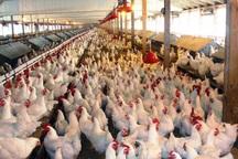 معاون جهاد کشاورزی همدان:نبود زنجیره تولید مرغ واسطه ها را تقویت می کند