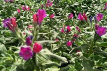 46 هکتار از اراضی قزوین به کشت گیاهان دارویی اختصاص دارد