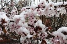 سرما به 50 درصد از باغات استان اردبیل خسارت زد