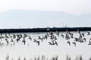 پرواز فلامینگوها بر فراز تالابهای جان گرفته فارس