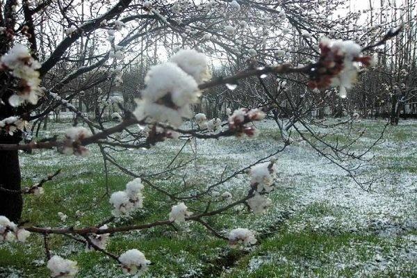 ضرورت اتخاذ تمهیدات لازم برای جلوگیری از سرمازدگی باغات