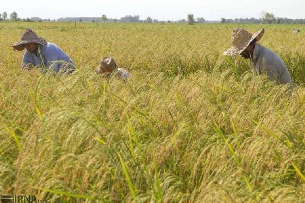 برداشت برنج در کهگیلویه و بویراحمد کاهش یافت