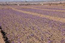سالانه 100هکتار به سطح زیر کشت زعفران در یزد افزوده میشود