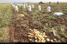 تولید سیب زمینی استان اردبیل به ۷۷۵ هزار تن می رسد