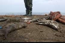 صید ماهیان استخوانی در سواحل بندرکیاشهر افزایش یافت