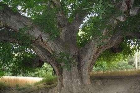 درختان گردو امام قیس بروجن ثبت ملی می شوند