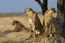 خشکسالی حیات وحش پارک ملی توران را تهدید می کند