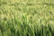 سرمازدگی به 23 هزار و 800 هکتار از مزارع گندم کردستان خسارت زد