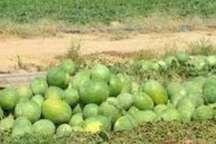 45 هزار تن هندوانه خوراکی گنبدکاووس تا دو هفته آینده به بازار می آید