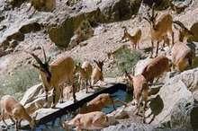 15 گروه محیط بانی پستانداران خراسان شمالی را سرشماری می کنند