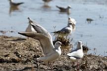 زیستگاههای پرندگان مهاجر استان بوشهر بهسازی شد