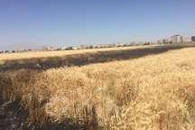 کشاورزان کرج از آتش سوزی در مزارع پیشگیری کنند