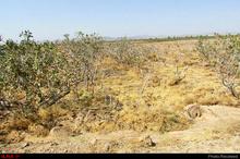 نابودی 98 درصد باغات پسته رفسنجان  زندگی کارگران منطقه بحرانی است  ضرورت حمایتهای دولت و شرکتهای بیمه از باغداران