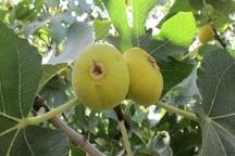 برداشت محصول انجیر از باغ های ابرکوه آغاز شد