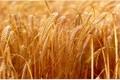 کشت پاییزه گندم در اراضی زراعی آذربایجان غربی آغاز شد