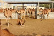 مجتمع صنعتی و تولید پرورش شتر در دلگان احداث میشود