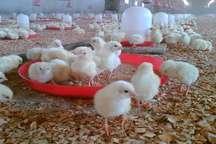 تولید سالانه 200 هزار قطعه جوجه در آذربایجان غربی