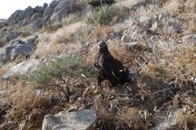 6 عقاب و شاهین در منطقه حفاظت شده شاهو و کوسالان رهاسازی شد