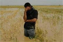 15هزارهکتار از مزارع گندم شعیبیه شوشتر زیر آب است