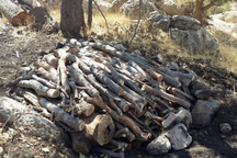 عامل قطع درختان جنگلی در بانه شناسایی شد