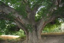 قطورترین درخت تبریز با حدود 4.5 متر قطر بیش از 90 سال عمر دارد