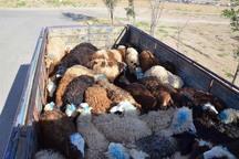 کامیون حامل دام قاچاق در بوئین زهرا توقیف شد