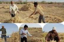 برداشت جو در 550 هکتار از زمینهای خور و بیابانک استان اصفهان آغاز شد