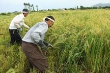 آغاز برداشت برنج در مزارع آستارا
