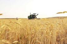 21 هزار تن گندم در سیستان و بلوچستان خریداری شد