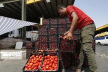 ۱۱۰ هزار تن گوجهفرنگی برای تولید رب در فارس خریداری شد
