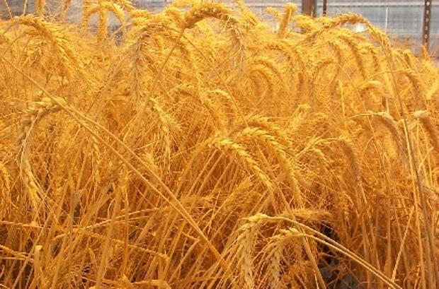 80درصد گندم قم از استانهای دیگر تامین می شود