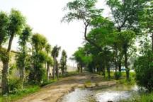 جوانهزنی دوباره درختان اُکالیپتوس در مسیر شرکت فولاد خوزستان+ تصاویر