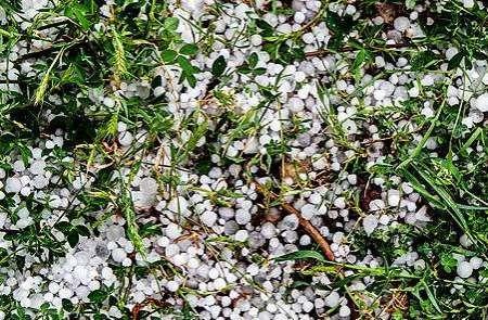 تگرگ به باغ های انگور تاکستان خسارت زد