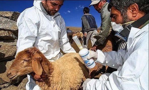 3.5 میلیون راس دام سبک در آذربایجان شرقی واکسینه می شود