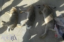 شکارچیان خرگوش در دام یگان حفاظت محیط زیست الیگودرز