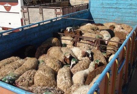 مجوز حمل بیش از 2 هزار راس دام سبک در جنوب کرمان صادر شد