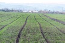 کشت جو پاییزه دیم در شیروان حدود 30 درصد افزایش یافت